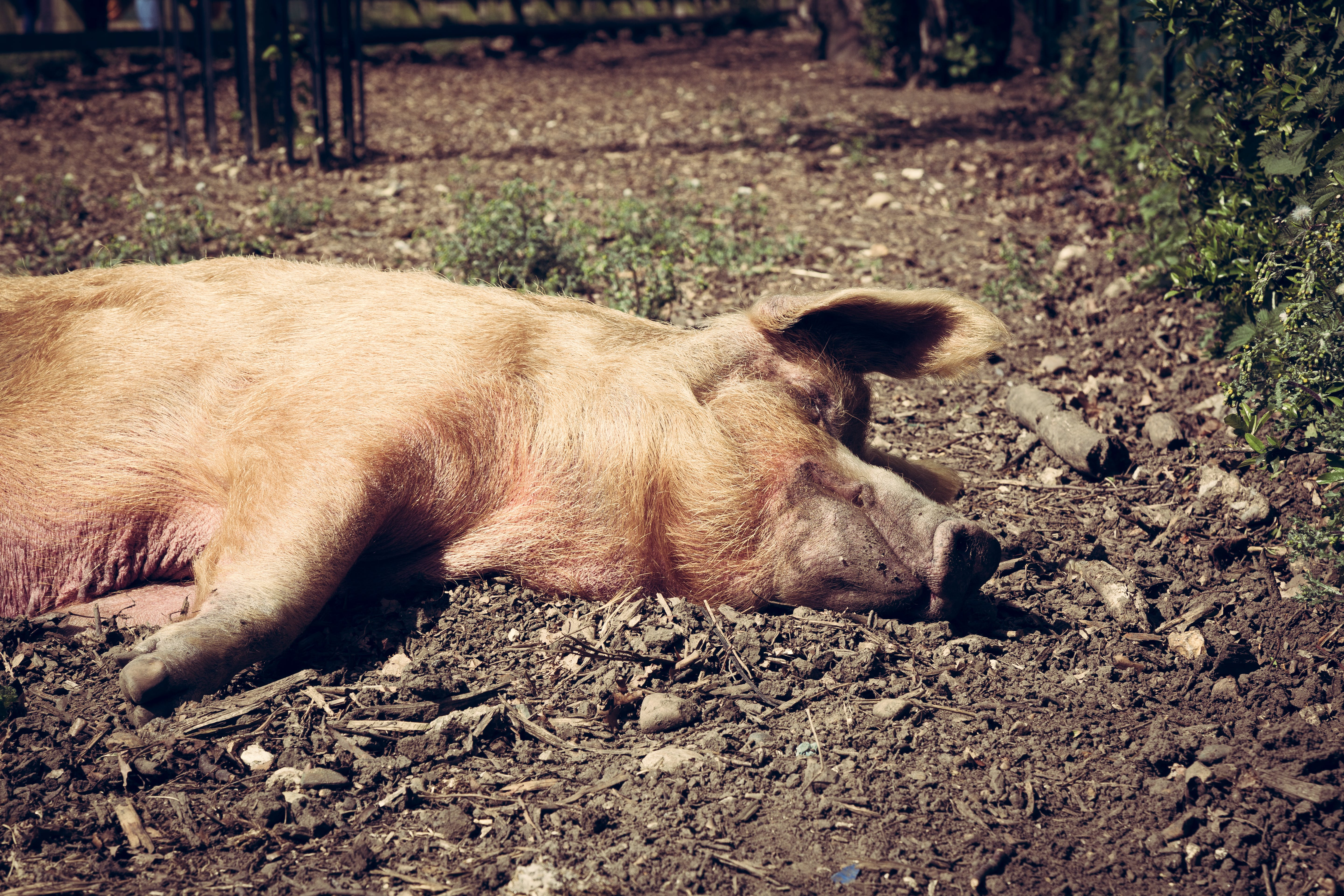 Free stock photo of lazy, pig