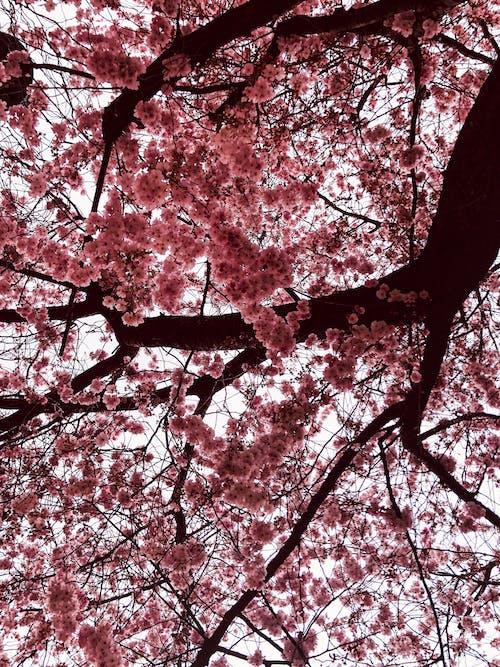 Kostenloses Stock Foto zu baum, blume, frühling, kirschblüte