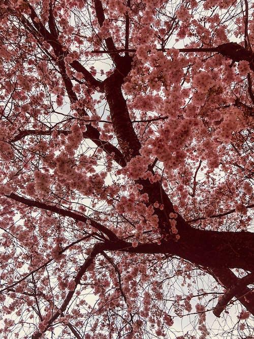 Kostenloses Stock Foto zu baum, blume, kirschblüte, kirsche