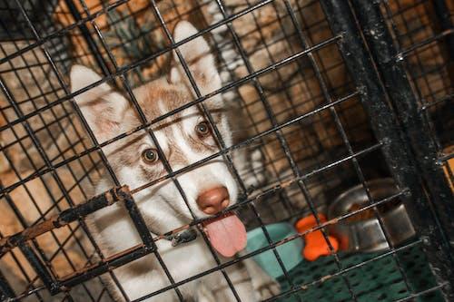 Free stock photo of dogs, husky, puppy