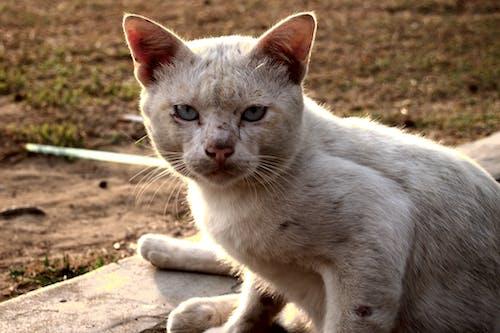 Photos gratuites de chat, chat blanc, Malaisie, sans domicile fixe