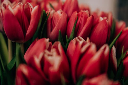 Close-Up Photo of Red Tulips