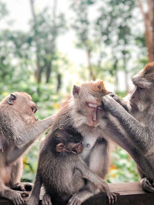 Základová fotografie zdarma na téma divočina, fotografování zvířat, makak, opice