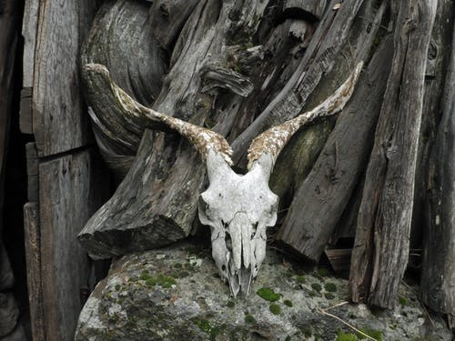 White Animal Skull on Brown Wooden Fence