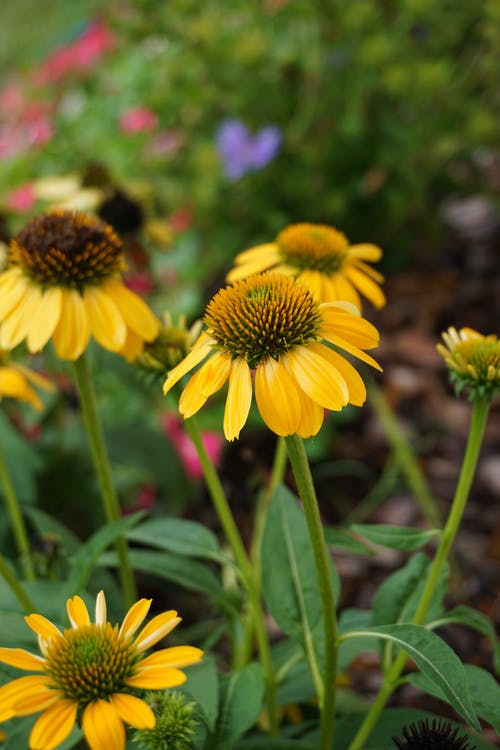 Photos gratuites de échinacée, fleurir, fleurs, flore