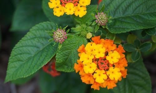 Free stock photo of close up, flowers, lantana