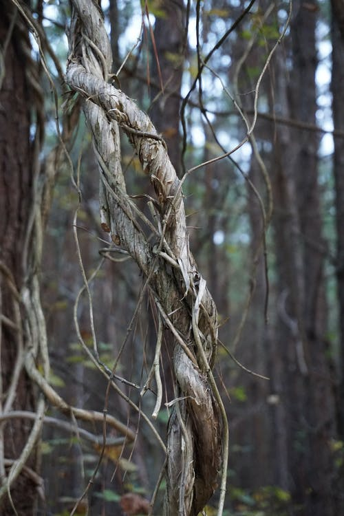 Free stock photo of forest, trees, vine