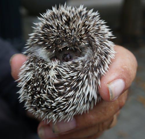 Person Holding A Hedgehog