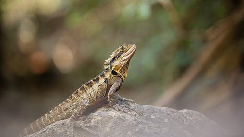Bearded Dragon On Gray Rock