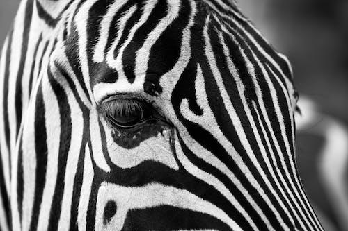 Fotobanka sbezplatnými fotkami na tému Afrika, čierny abiely, divočina, pásiky