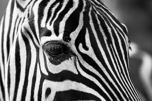 Free stock photo of black and white zebra crossing animal africa