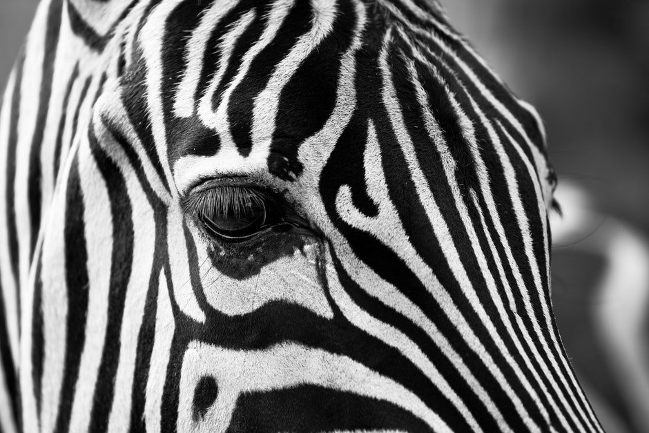 africa, animal, black-and-white