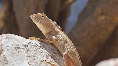 Photos gratuites de animal, balances, caillou, dragon barbu