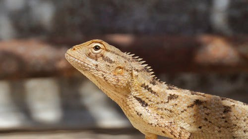 Close-up Shot Of Bearded Dragon