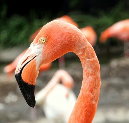 Free stock photo of animal, eye, flamingo