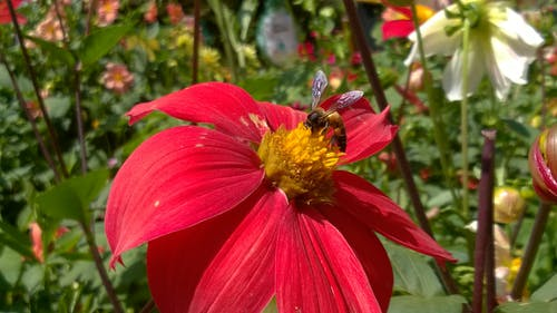 Free stock photo of flower, red flowers, wasp