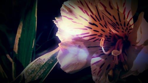 Foto profissional grátis de branco, escuro, flor, lilly