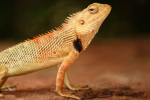 Close-up Shot Of A Bearded Dragon