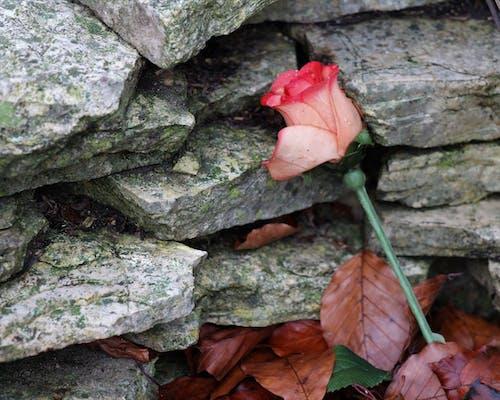 Imagine de stoc gratuită din s-a ridicat pe o piatră