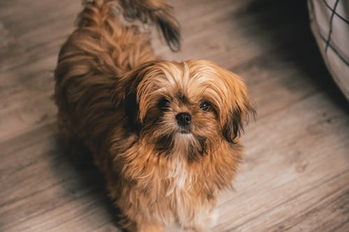 Brown Shih Tzu Puppy