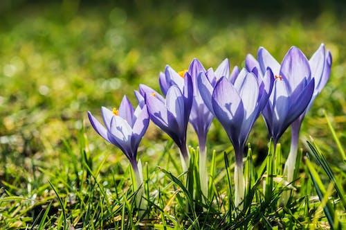 Free stock photo of botanical, crocus, flower, flowers