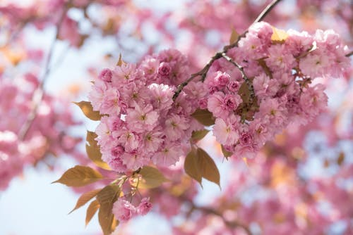 Pink Blossom In Close Up Photography
