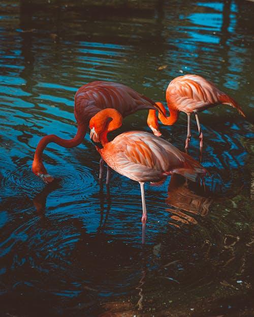 flamingo, göl, hayvanat bahçesi, hayvanlar içeren Ücretsiz stok fotoğraf
