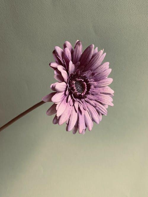 Foto profissional grátis de flor, flor bonita, flor lilás