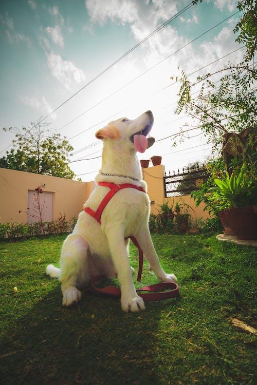 Free stock photo of dog, doggo, happy, labrador retriever