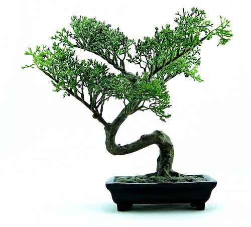 Immagine gratuita di albero, bonsai, botanica, Cinese