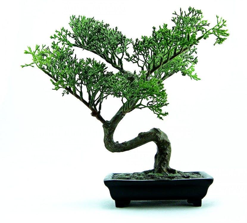 anão, árvore, bonsai