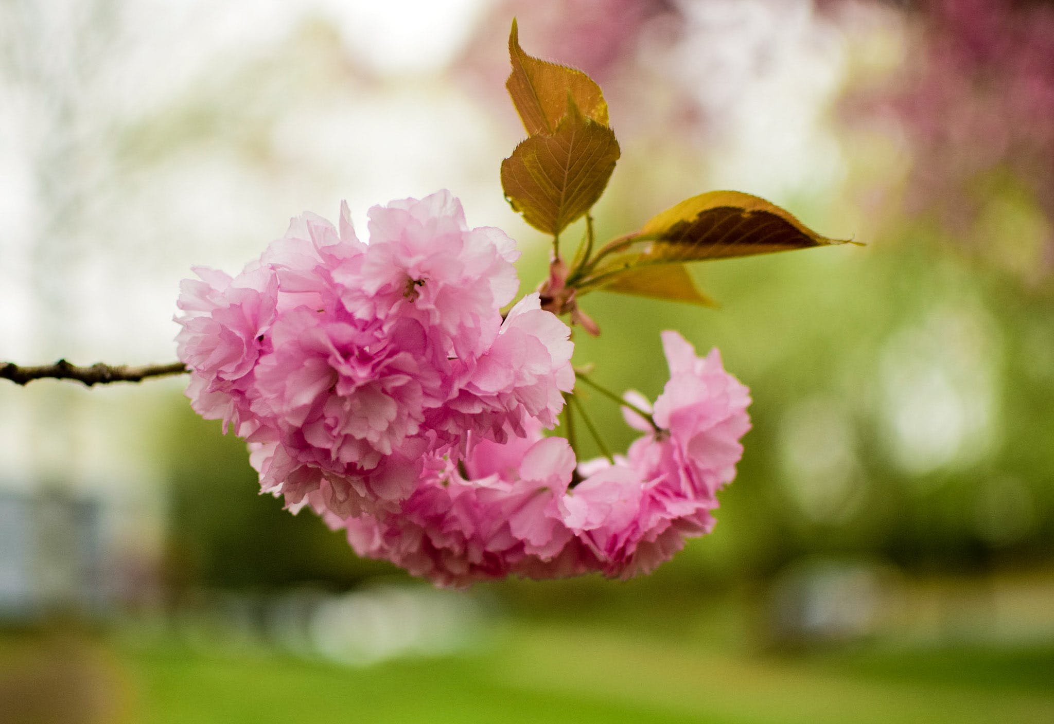 Free stock photo of blossom, cherry blossom, trees