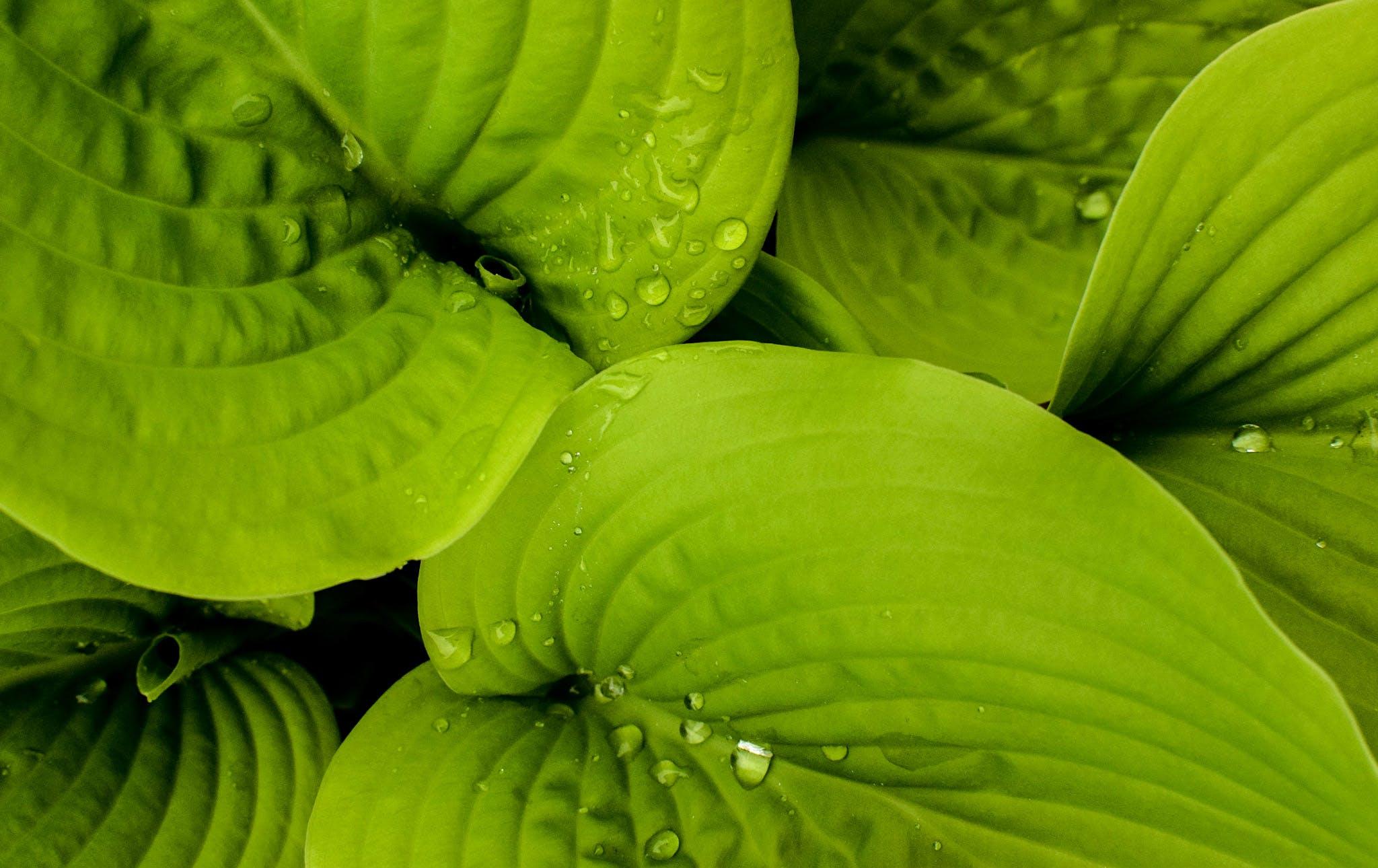 Free stock photo of green, hosta leaves, leaves