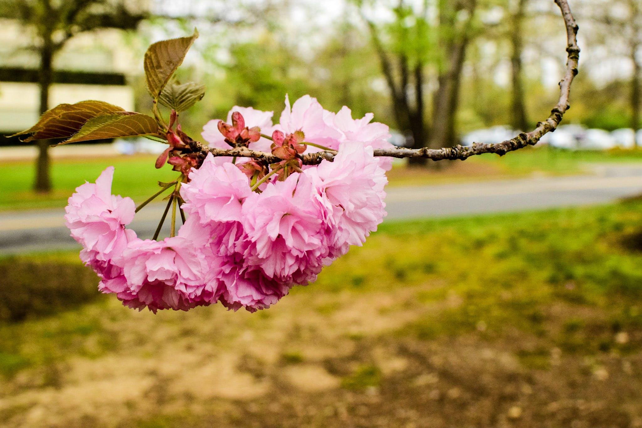 Free stock photo of blossom, cherry tree, trees