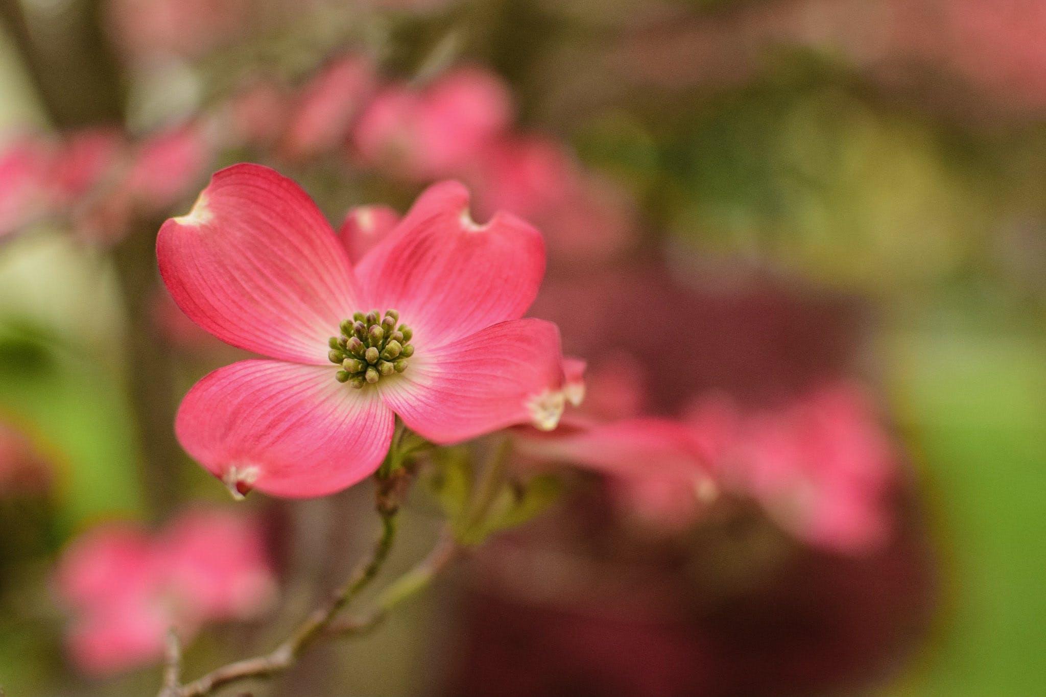 Free stock photo of dogwood, flower, tree
