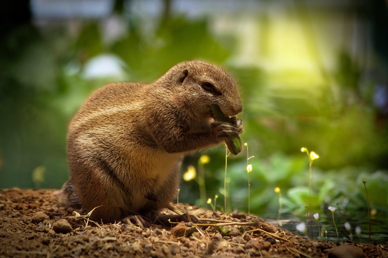 Kostenloses Stock Foto zu eichhörnchen, essen, makro, niedlich