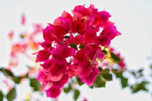Бесплатное стоковое фото с бугенвиллея, красивые цветы, красивый