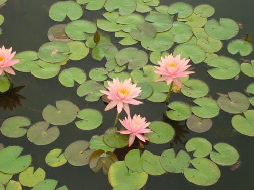 Free stock photo of botanical, brooklyn, garden, waterlily
