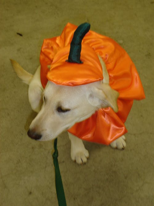 Free stock photo of halloween, labrador retriever, pumpkin, puppy