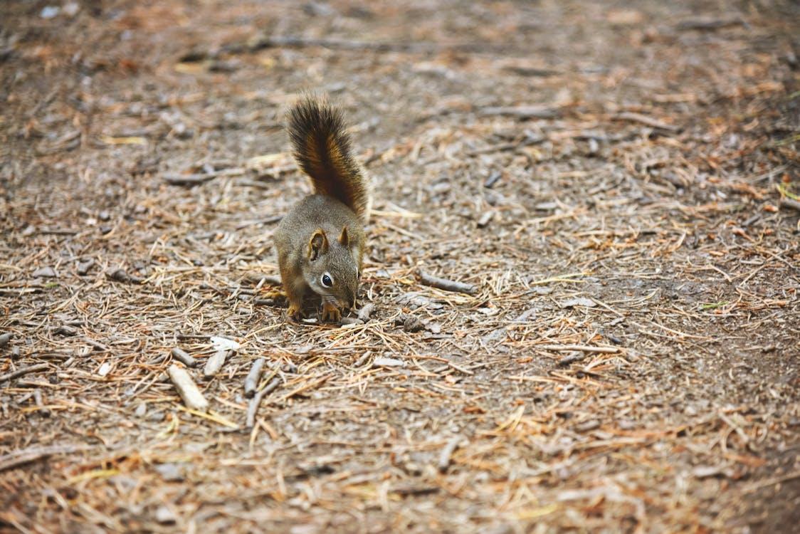 Brown Squirrel On Ground