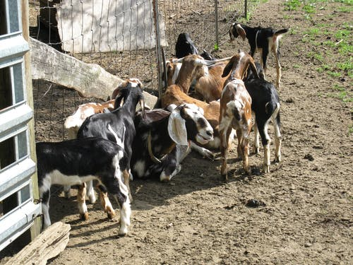 Free stock photo of animal farming, farm, goats