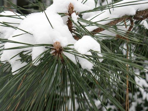 Free stock photo of pine tree, snow, winter