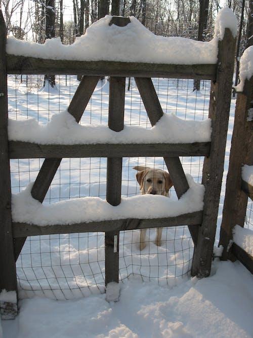Free stock photo of dog, garden gate, snow