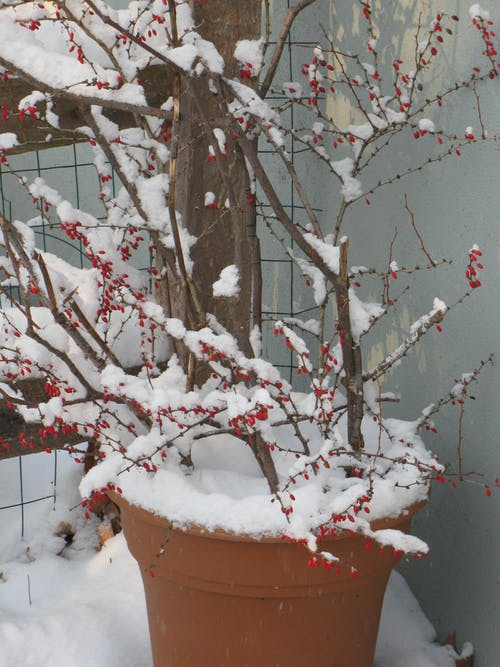 Free stock photo of red berries, snow