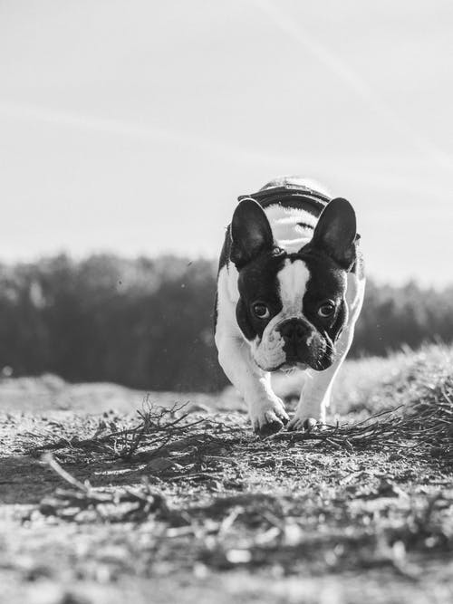 Grayscale Photo of Bulldog on Grass Field