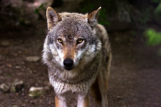 Grey And White Wolf Selective Focus Photography 183 Free