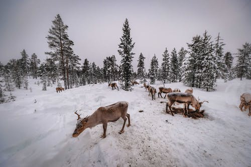 Herd of Deer on Snow Covered Ground