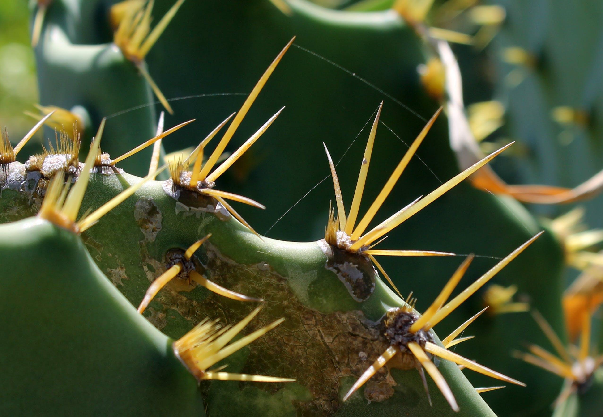 仙人掌, 仙人掌刺, 多刺的植物
