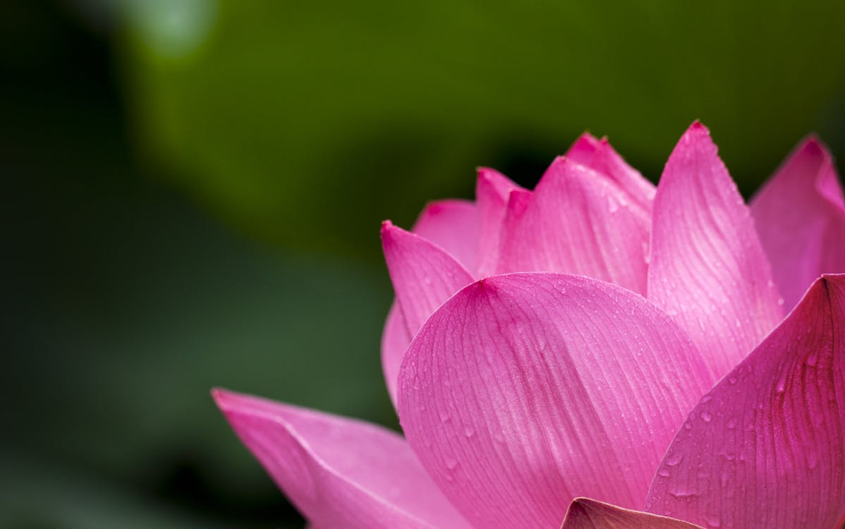 Lotus Flower Blooming during Daytime