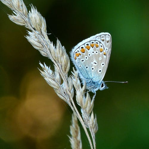 Blue and White Butterfly Perched on White Flower in Close Up Photography
